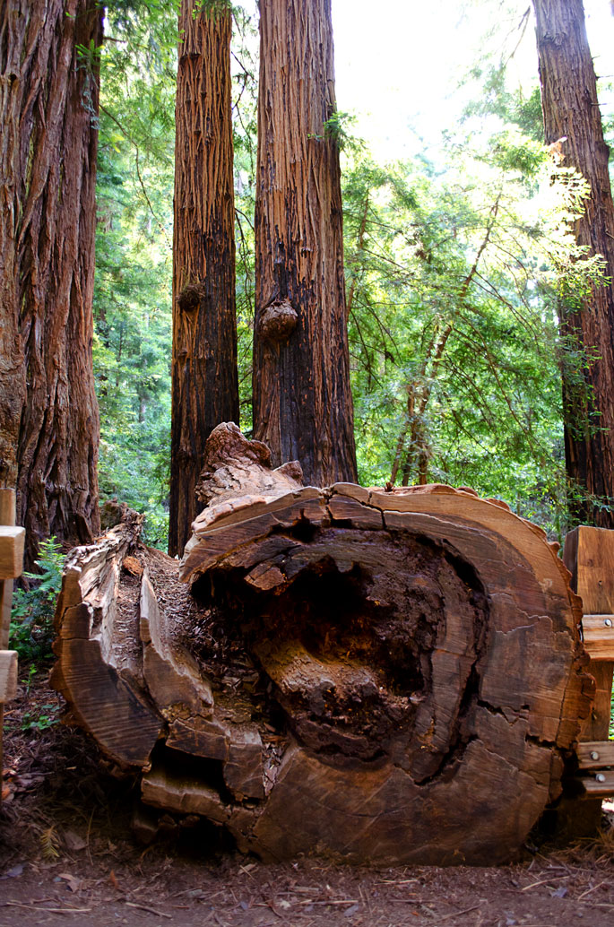 Fallen-Redwood-Tree-in-Muir-Woods