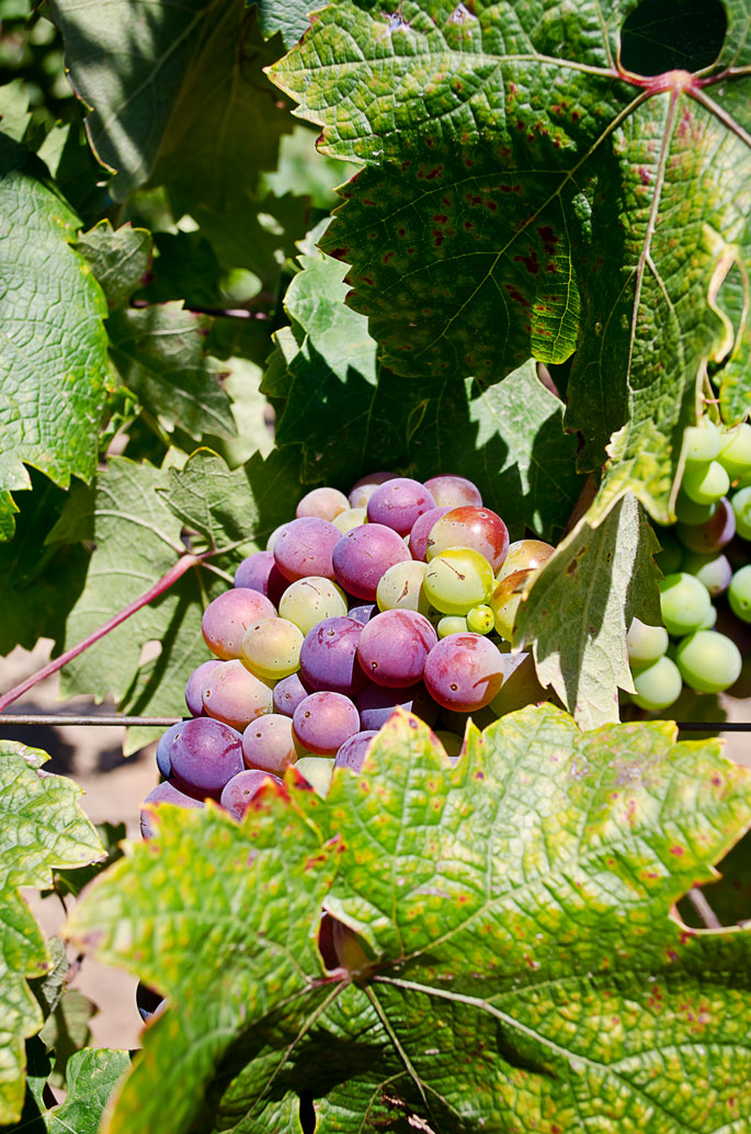 Russian-River-Valley-Healdsburg-California-Grapes-on-Vine